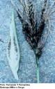 Carvão do pendão (Sphacelotheca reiliana)