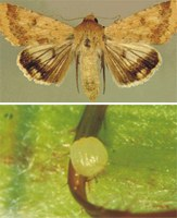 Adulto e ovo de Helicoverpa zea (lagarta-da-espiga). Foto:Ivan Cruz - Embrapa Milho e Sorgo