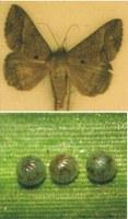 Adulto e ovos de Mocis latipes.       Foto:Ivan Cruz - Embrapa Milho e Sorgo
